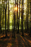 Sunset in a forest Royalty Free Stock Photo
