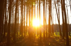 Sunset in forest Stock Photography