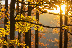 Sunset in forest with autumnal beech leaves Royalty Free Stock Photos