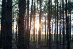 Sunset in the forest Royalty Free Stock Image