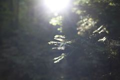 Sunset in the forest. Coniferous twig, selective focus stock photo