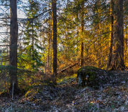 Sunset in  forest Royalty Free Stock Photo