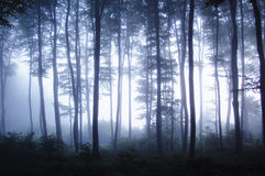 Sunset in a forest with fog. Sunset in a foggy mysterious forest Royalty Free Stock Images