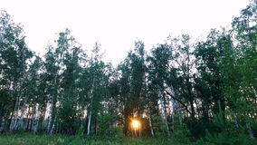 Sunset in the forest. Forest lawn is overgrown with wild flowers and grass. The sun's rays make their way through the birch. Already starting to get dark stock video footage