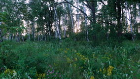 Sunset in the forest. Forest lawn is overgrown with wild flowers and grass. The sun's rays make their way through the birch. Already starting to get dark stock video