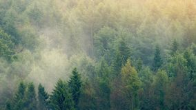 Sunset Forest With Mist Moving Across. Beautiful wilderness scene of mist moving over forest in golden sunlight stock footage