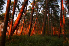 Sunset in forest, pines Stock Photos