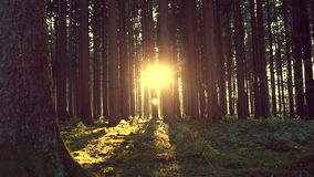 Sunset in the forest, sepia tone, autumn stock video