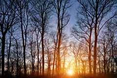 Sunset in the forest. Royalty Free Stock Images