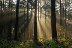 Sunset in the forest. The sunlight shining in the forest royalty free stock photography