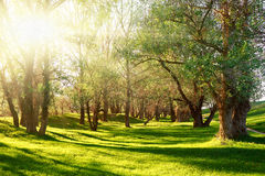 Sunset in forest, sunlight with tree shadows on glade Stock Photos