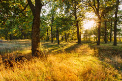 Sunset In Forest Trees. Natural sunlight sunshine in woods. Very Royalty Free Stock Image
