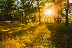 Sunset In Forest Trees. Natural sunlight sunshine in woods. Very. Sunny sunrise with sun rays through woods trees in summer forest. Beautiful scenic view Royalty Free Stock Photo