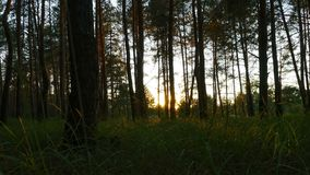 Sunset in the Forest through the Trees. Timelapse. Moving tree shadows in mountain forest with sunbeams. Summer stock video footage
