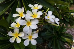 The sunset and frangipani flowers Royalty Free Stock Photos