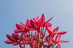 The sunset and frangipani flowers Stock Photos