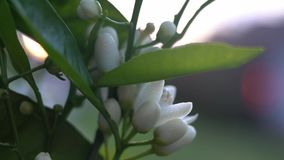 Sunset in the garden. Orange blossom on a tree in spring stock footage
