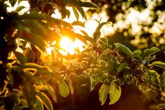 Sunset in garden. Rays of the sun penetrate through  apple leave. S Stock Image