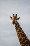 Sunset Giraffe. A giraffe looking into the distance Stock Photography