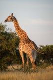 Sunset Giraffe. A giraffe soaking up the evening sun Royalty Free Stock Image