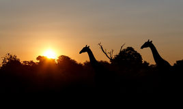 Sunset and giraffes in silhouette in Africa. Namibia Royalty Free Stock Photos