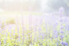 Sunset gleam over purple flowers of lavender for background and wallpaper.  royalty free stock photos