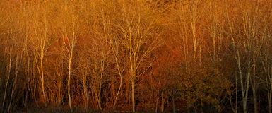 Sunset at glinting on silver birch trees. Golden sunset in the Chiltern Hills, Buckinghamshire, United Kingdom on silver birch trees Royalty Free Stock Image