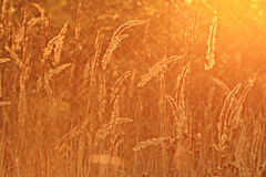 Sunset glow grass Stock Photography