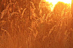 Sunset glow grass Royalty Free Stock Image