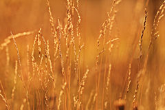 Sunset glow grass Stock Photo