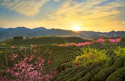Sunset glow. In yongfu,zhangping,fujian,china.The sakura is in full blossom at the tea garden Royalty Free Stock Images