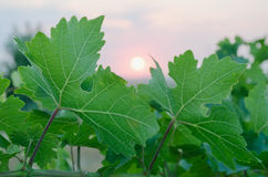 Sunset through the grape leaves in Crimea Royalty Free Stock Photos