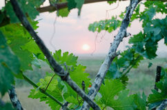 Sunset through the grape leaves in Crimea Royalty Free Stock Photography