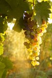Sunset Grapes Stock Image