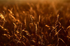 Sunset grass. Grass on the field at the sunset royalty free stock photos