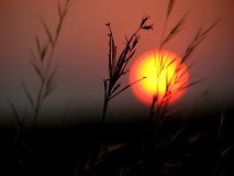 Sunset Grass. Sun setting in India behind the dried grass of summer Stock Photo