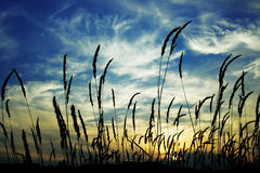 Sunset through grass Stock Image