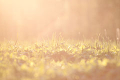 Sunset grass background with direct light Royalty Free Stock Images