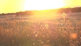 Sunset grass stock video footage