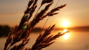 Sunset grass dawn close up stock video footage