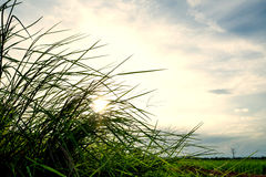 Sunset on grass in evening time. Royalty Free Stock Images
