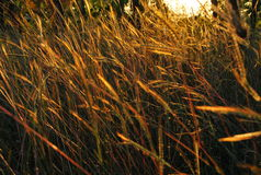Sunset. In grass field royalty free stock photography