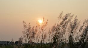 Sunset on grass flower field Royalty Free Stock Images