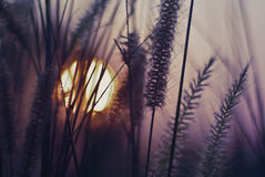 Sunset with grass flowers Royalty Free Stock Images
