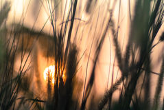 Sunset with grass flowers Royalty Free Stock Photography