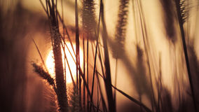 Sunset with grass flowers Royalty Free Stock Image