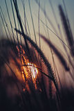 Sunset with grass flowers Royalty Free Stock Photo