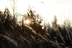 Sunset with grass and forest. Royalty Free Stock Photography