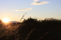 The Sunset Grass. Long grass with the sun in the corner of the shot making the side of the grass shine Royalty Free Stock Photography