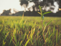 Sunset at grassy field Royalty Free Stock Photo